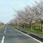 新旭 湖岸通りの桜並木