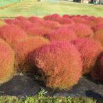 秋晴れの箱館山から見下ろすコキアと琵琶湖!
