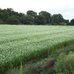 稲穂が終わり、その後、白の蕎麦の花が1面