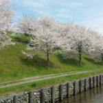 川島の桜並木