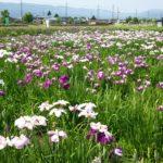 花しょうぶ園(浜分)
