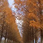 秋のメタセコイヤ並木