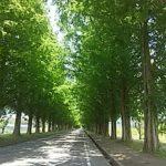 夏のメタセコイヤ並木
