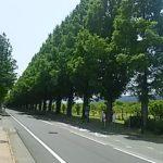 春のメタセコイヤ 並木