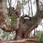 巨木(白倉岳山頂)