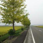 新旭 藁園地先のイチョウ並木